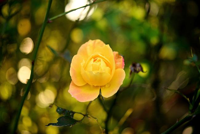 flattoの庭に咲いた黄色いバラ