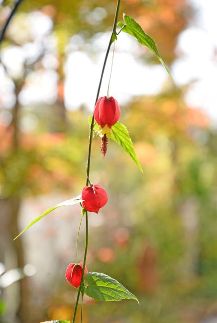 flattoの庭に咲いたウキツリボク